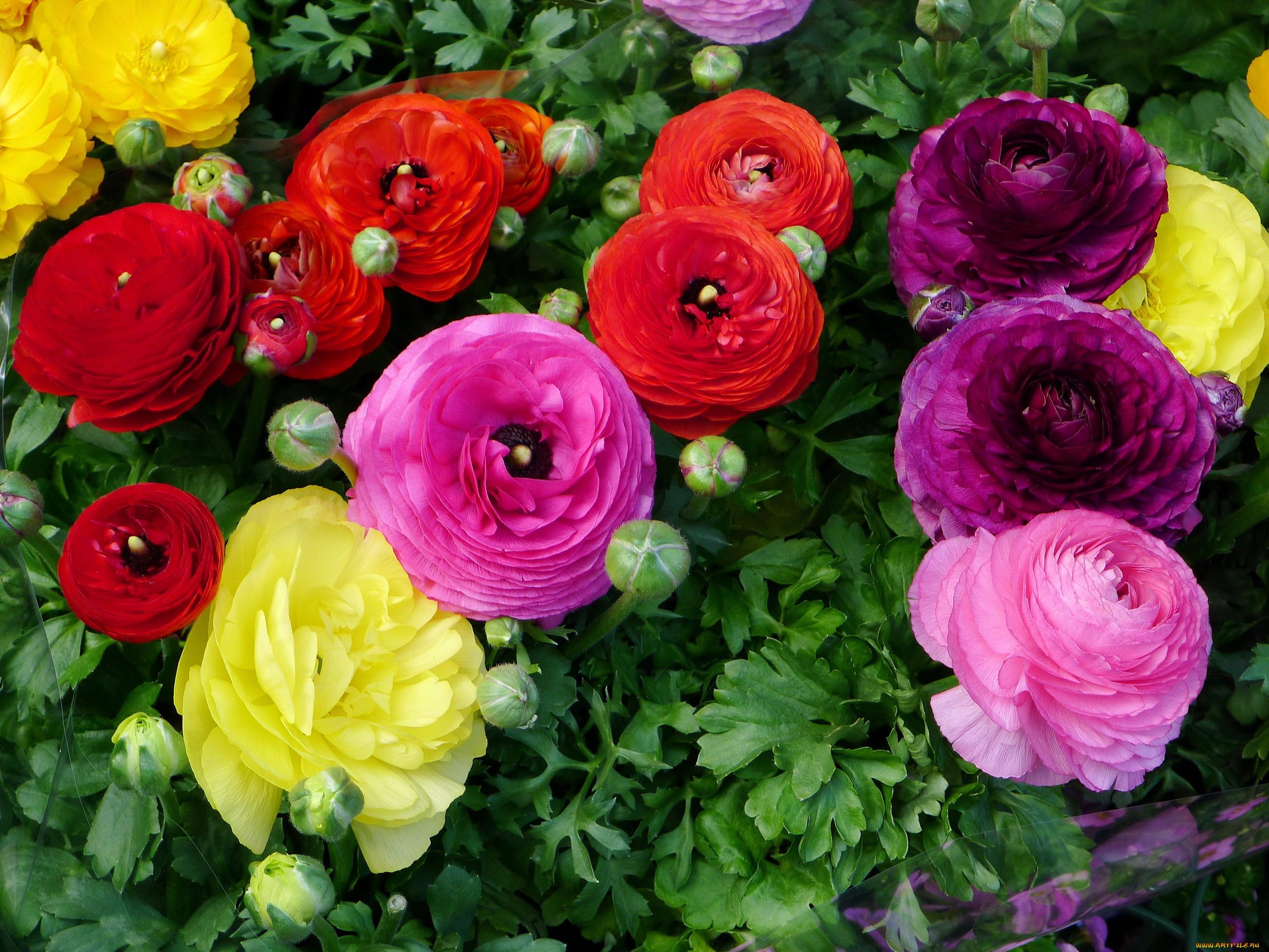 огромную фотографии цветов лютиков время считалось